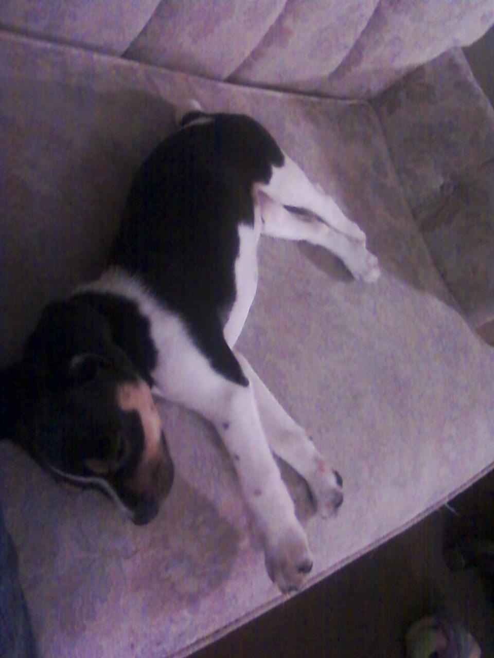 MINI BOXER Rat Terrier mix??? BYB-101210222613.jpg
