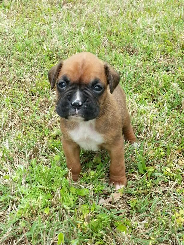 Our new baby girl cypress boxer forum boxer breed dog forums