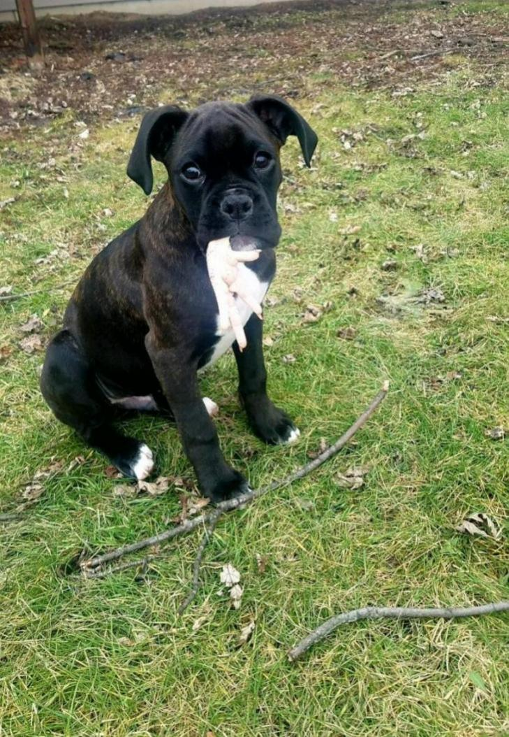 New puppy - boxer #3 for us!-20180222_191312_1560038915483.jpg