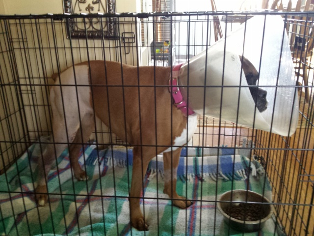 Schatzi Home from TPLO (Knee) surgery - Boxer Forum ...