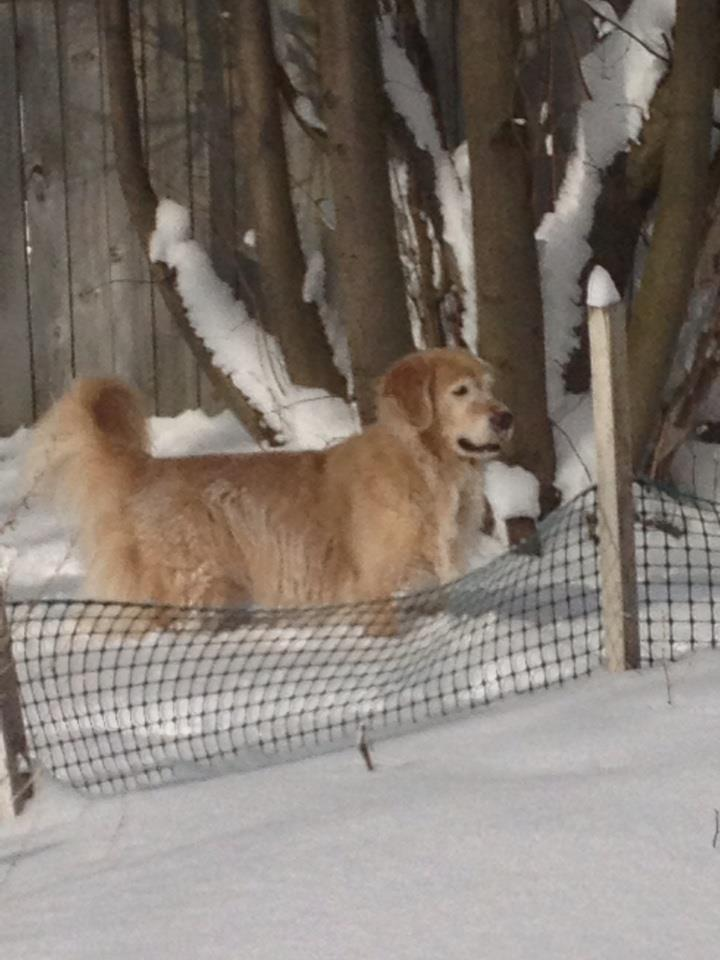 Breeze and Bentley enjoying the snow!!-bentley-standing-snow.jpg