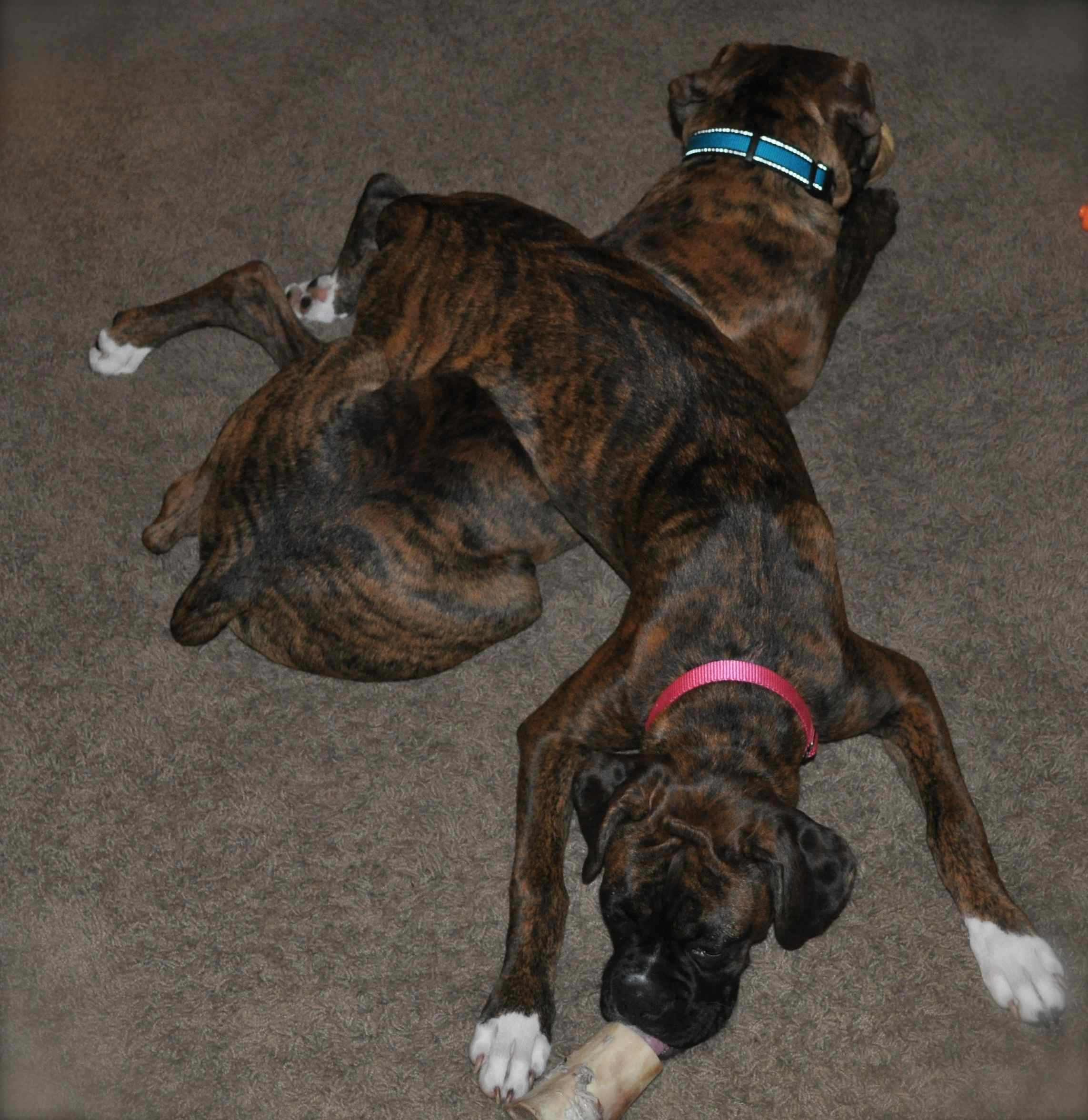 Best Chew Toys for Boxers Boxer Forum Boxer Breed Dog Forums