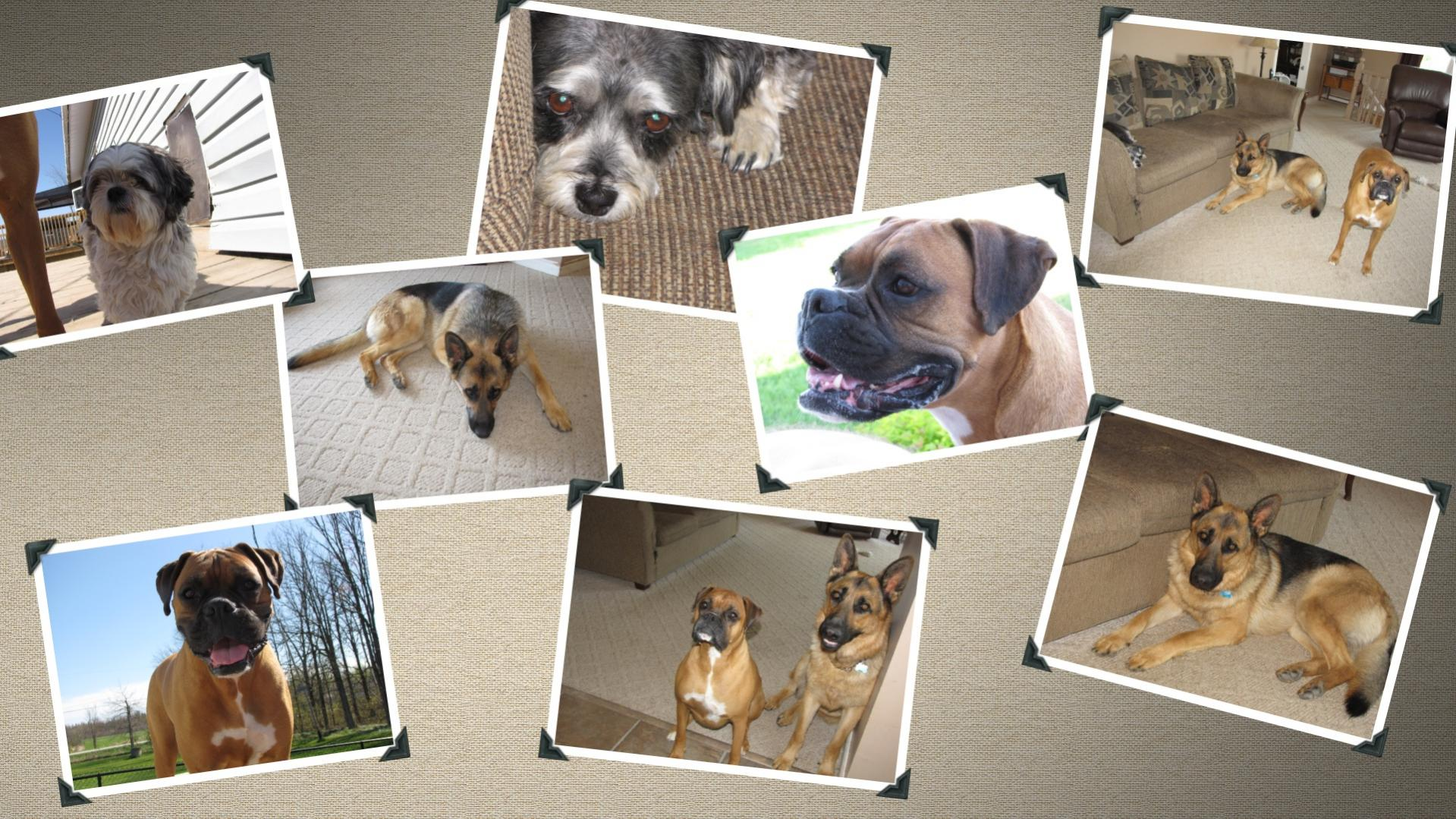 How many boxers do you have and how big is your house/yard?-collage3.jpg
