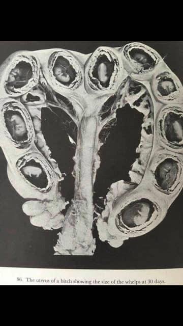 The pregnant uterus-d9b79261-ec22-4966-9629-3b88664ea581.jpeg
