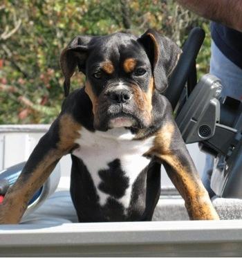 Tri Color Boxer Page 2 Boxer Forum Boxer Breed Dog