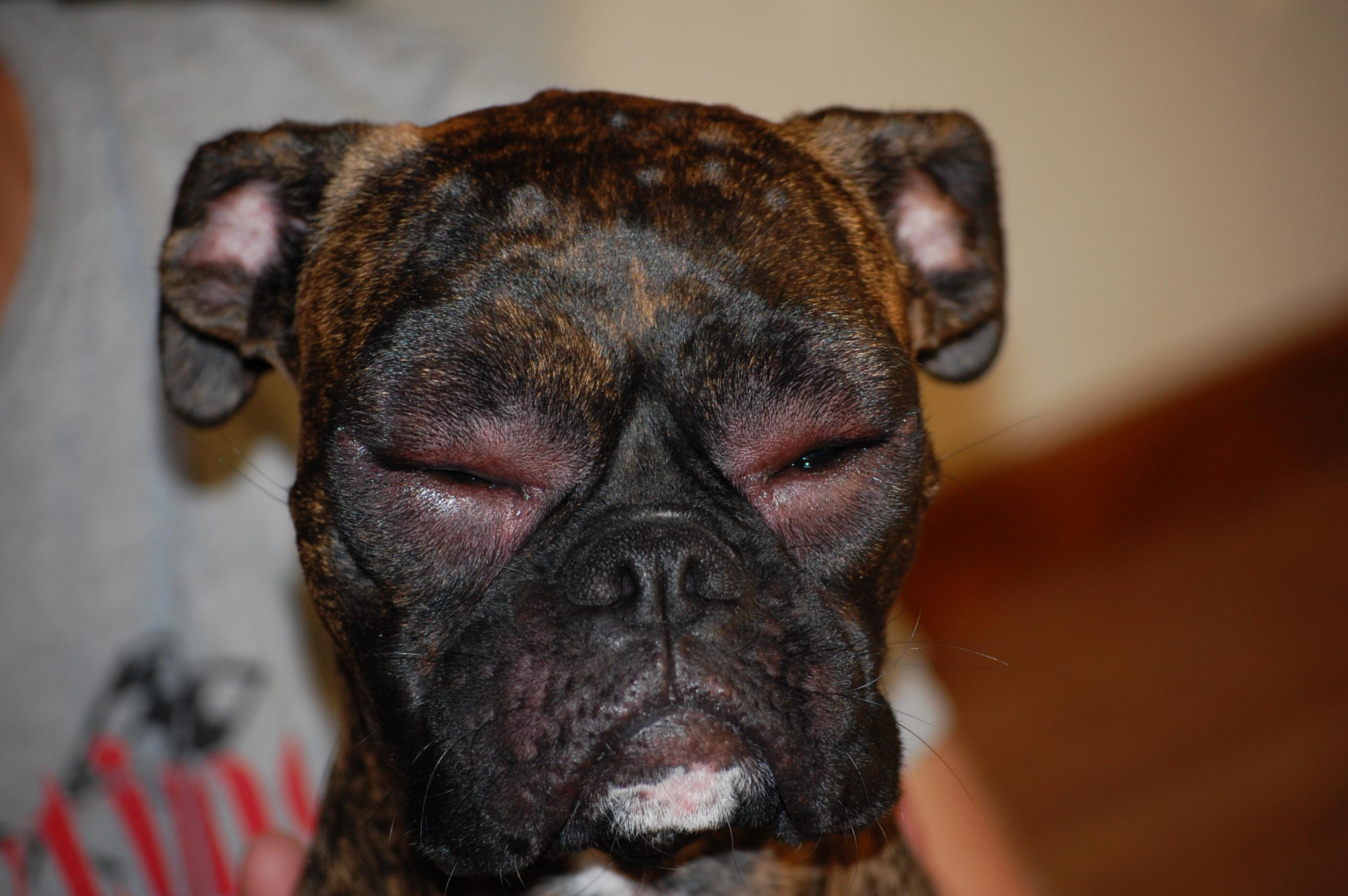 Redness And Swelling In Dogs Ears
