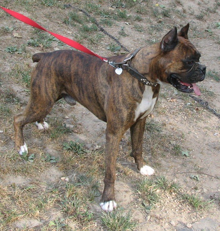Boxer Dogs with Cropped Ears