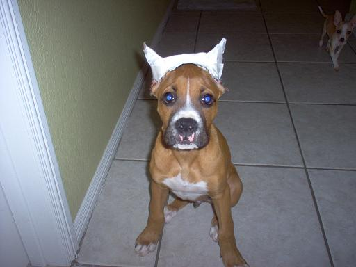 Dog Ear Cut Off Ear Cropping Boxer Dogs