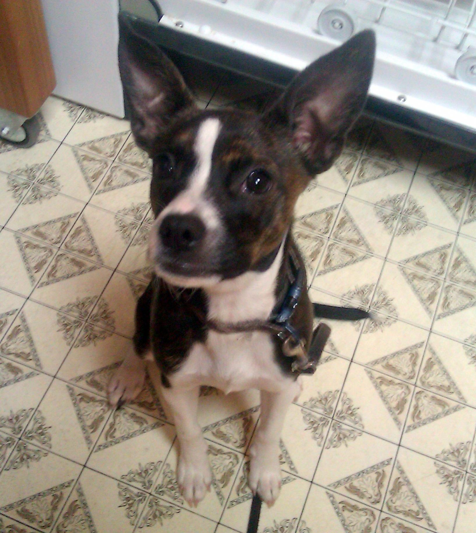 Is my puppy a Boxer mix?-imag0779.jpg