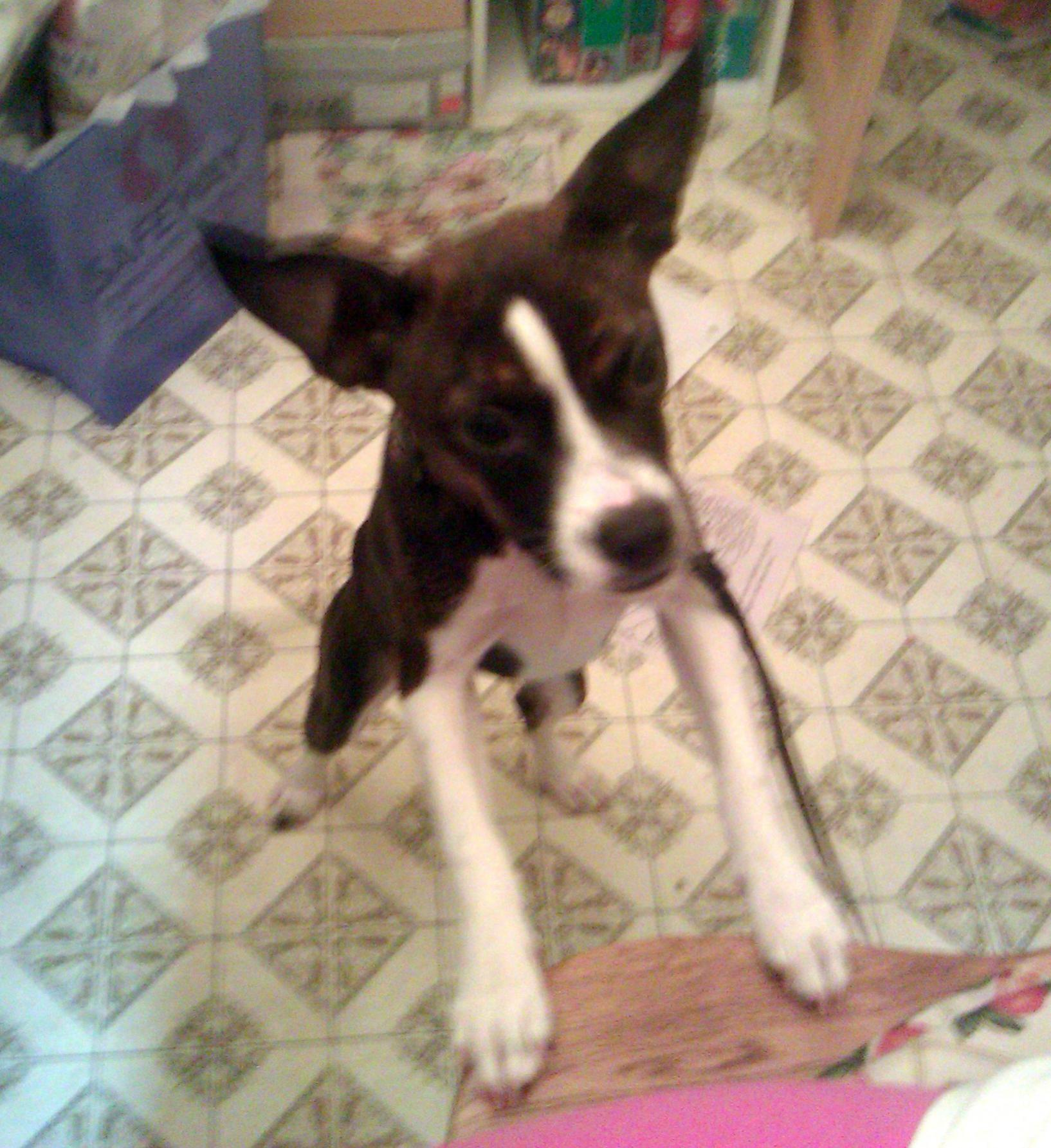 Boston Terrier Boxer Mix Is my puppy a Boxer mix