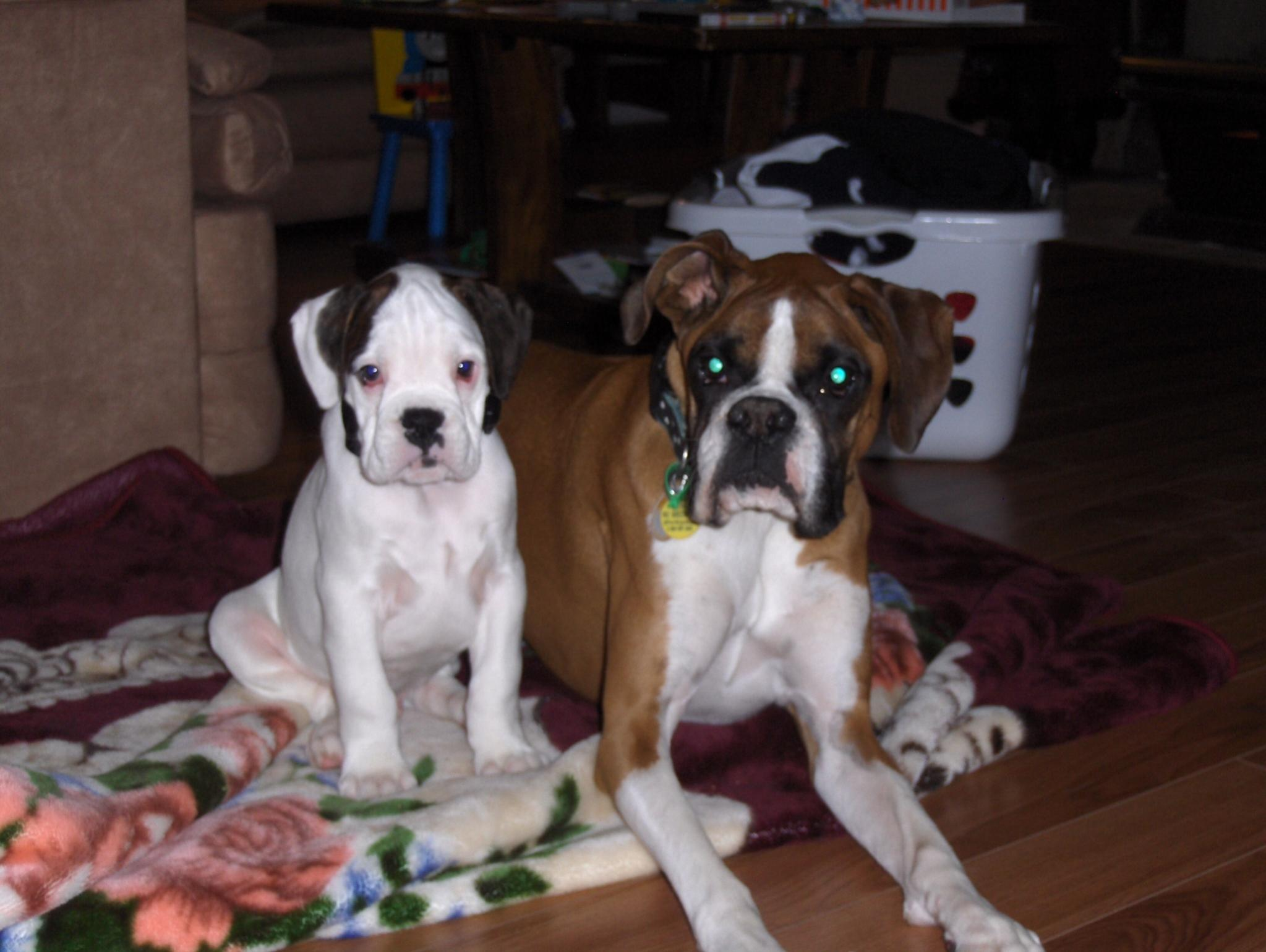Flynn is growing up - Boxer Forum : Boxer Breed Dog Forums