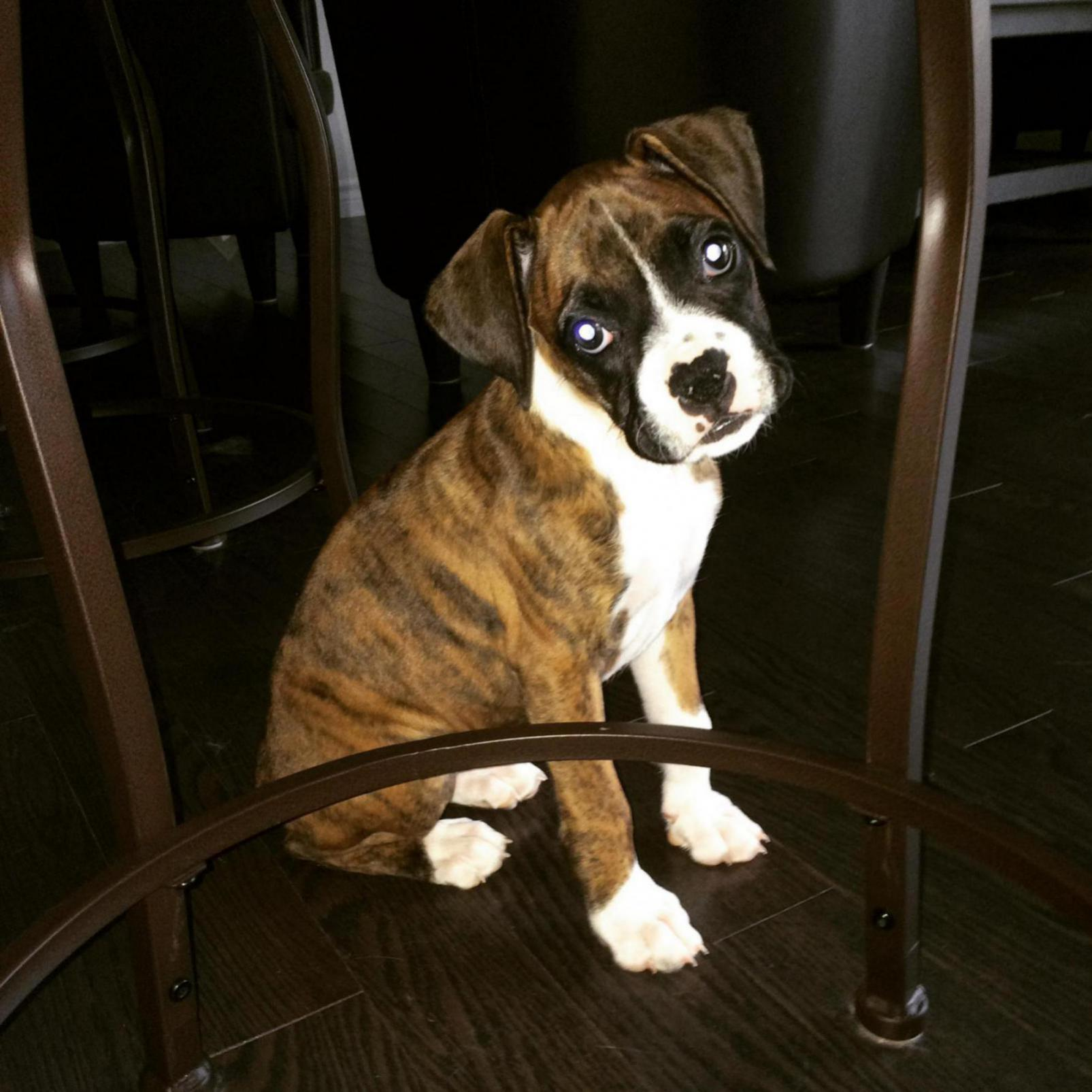 flashy brindle or classic brindle boxer forum boxer breed dog