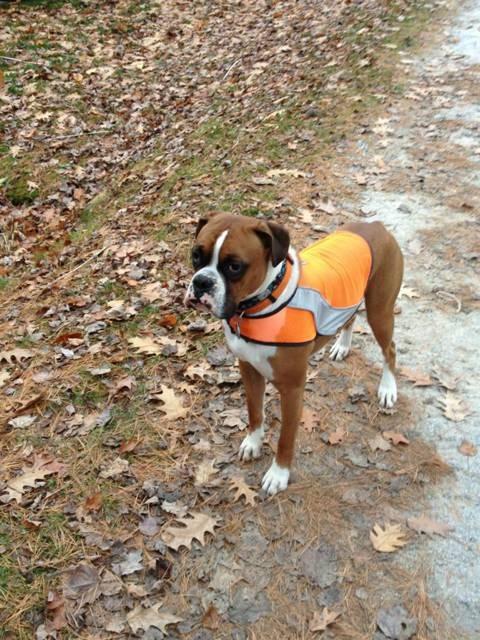 Bosley's new vest!-imageuploadedbypg-free1352563575.634744.jpg