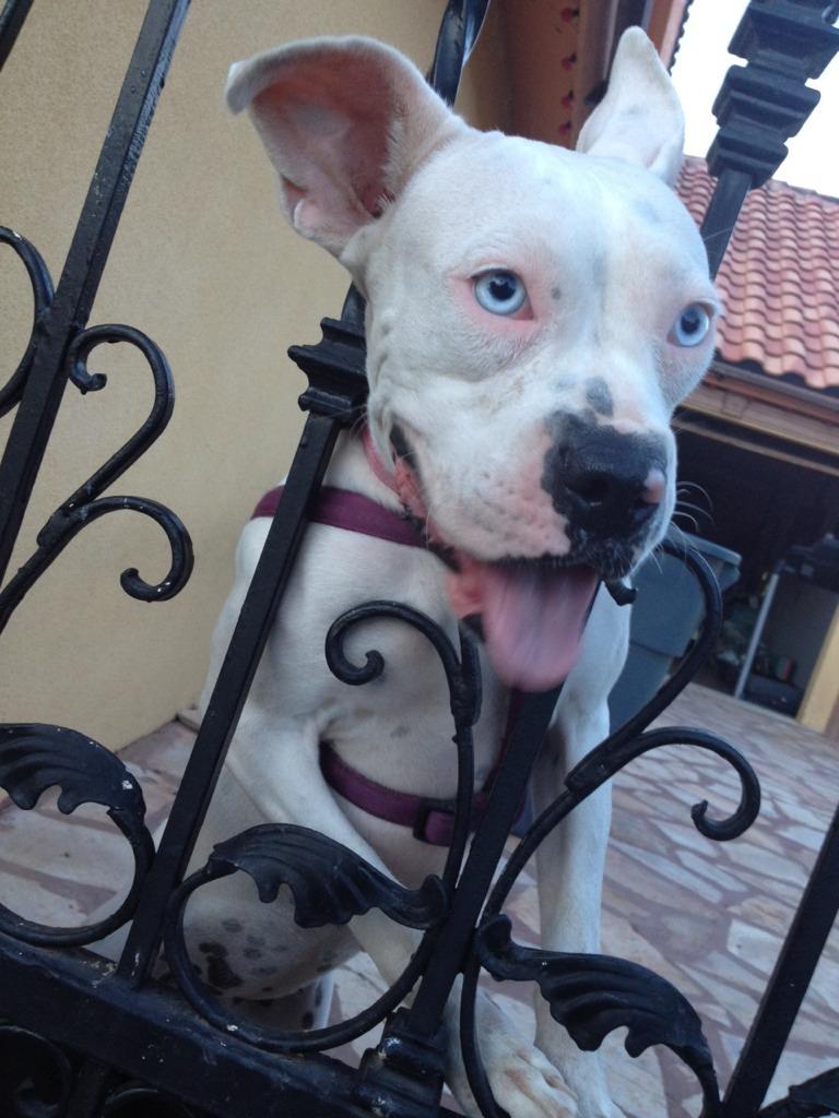 White Boxer Breed-imageuploadedbypg-free1353687894.243359.jpg