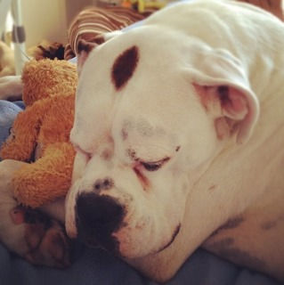 Pics of Sleeping Boxers Thread-imageuploadedbypg-free1355774564.587631.jpg