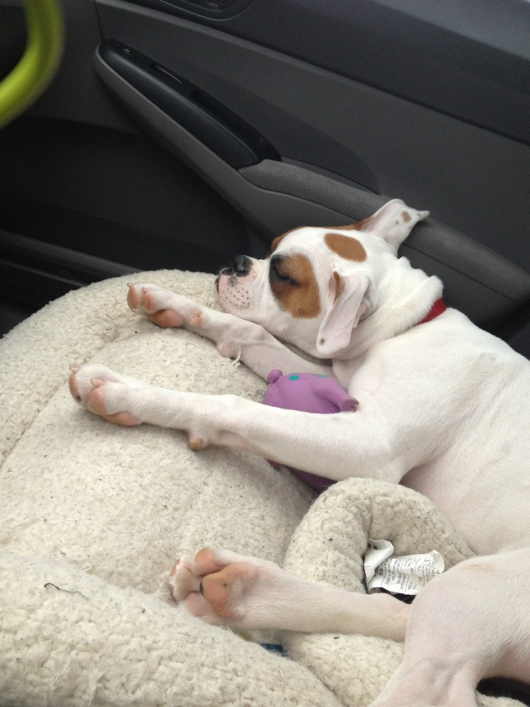 Pictures of Diesel traveling from GA to SC with mommy-imageuploadedbypg-free1355887455.254686.jpg
