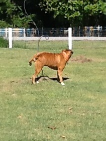Vet says my Boxer is too heavy:(-imageuploadedbypg-free1356188093.879459.jpg