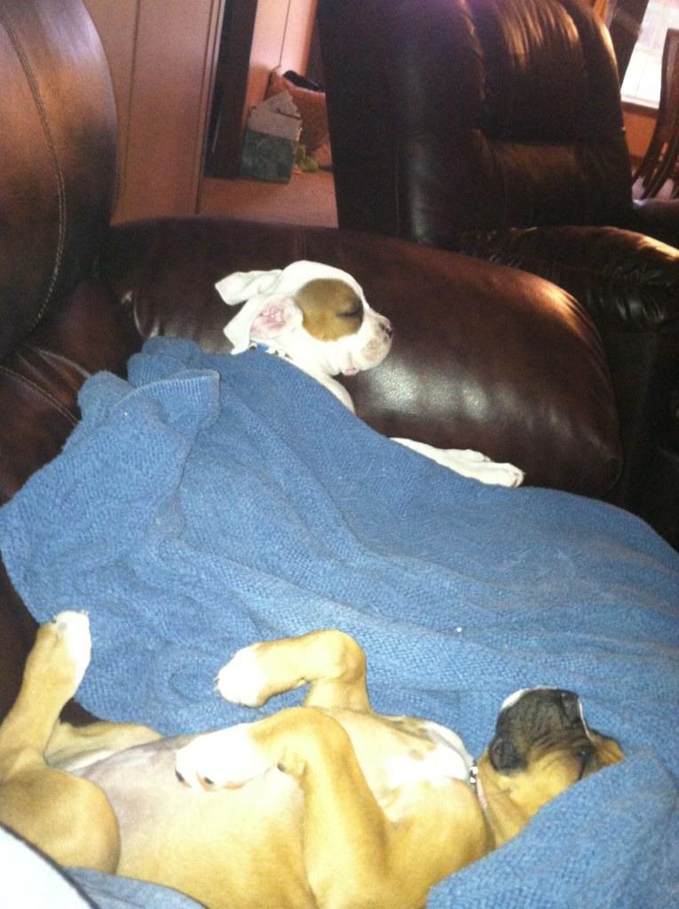 New Boxer Mom!-imageuploadedbypg-free1356282181.166661.jpg