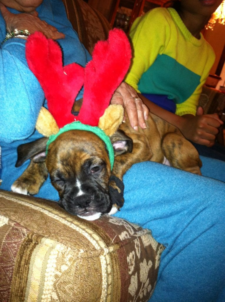 Holiday pictures of the puppies.-imageuploadedbypg-free1357140200.936221.jpg