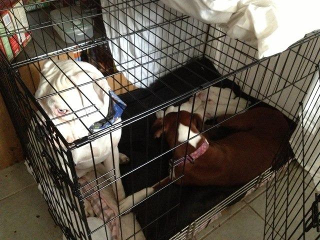 New boxer mom-imageuploadedbypg-free1357646694.849699.jpg