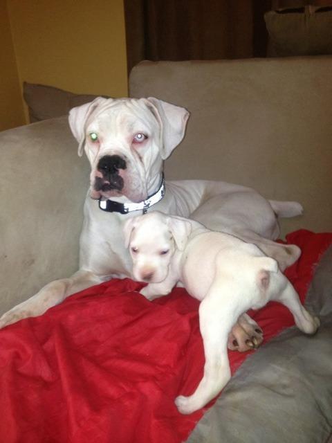 New boxer mom-imageuploadedbypg-free1357646876.578454.jpg