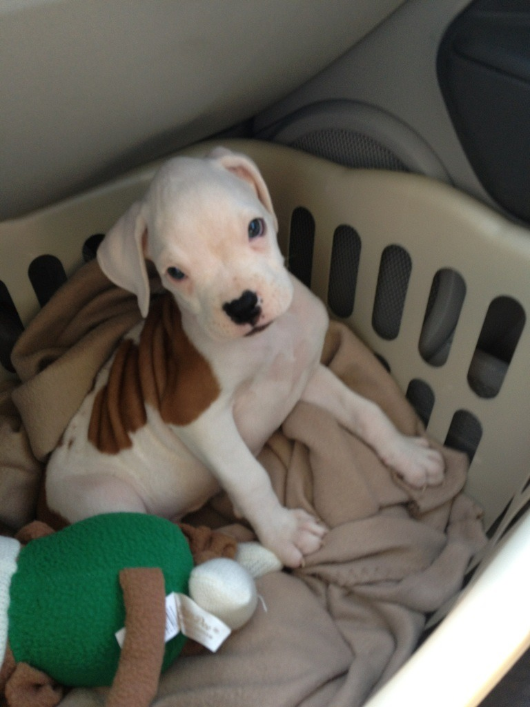 Brand new boxer puppy added to my family. Could use some suggestions too.-imageuploadedbypg-free1357739163.672754.jpg