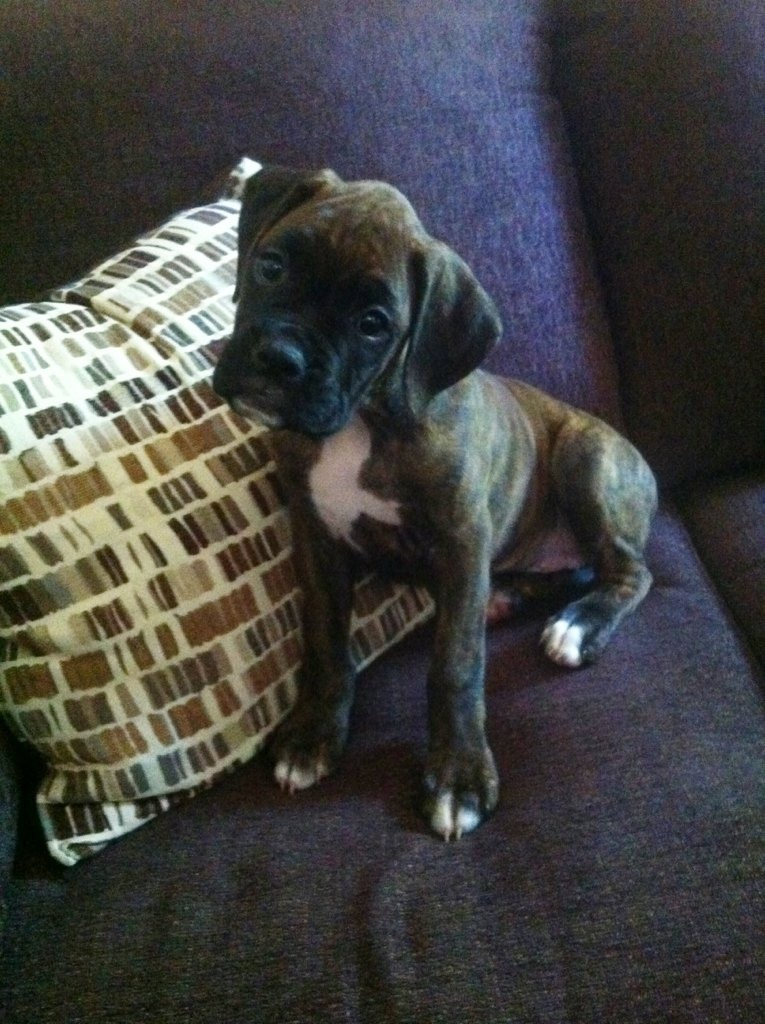 Brand new boxer puppy added to my family. Could use some suggestions too.-imageuploadedbypg-free1357751072.340886.jpg
