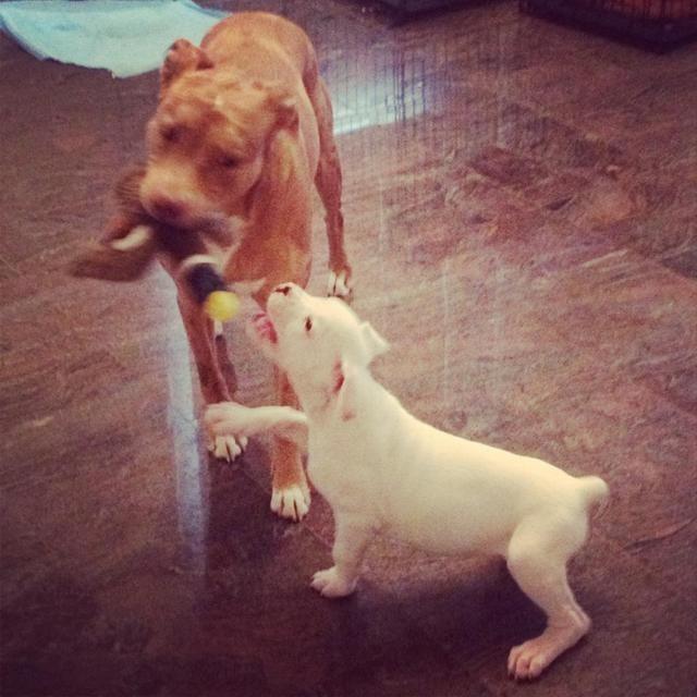 New boxer mom-imageuploadedbypg-free1359145524.090184.jpg