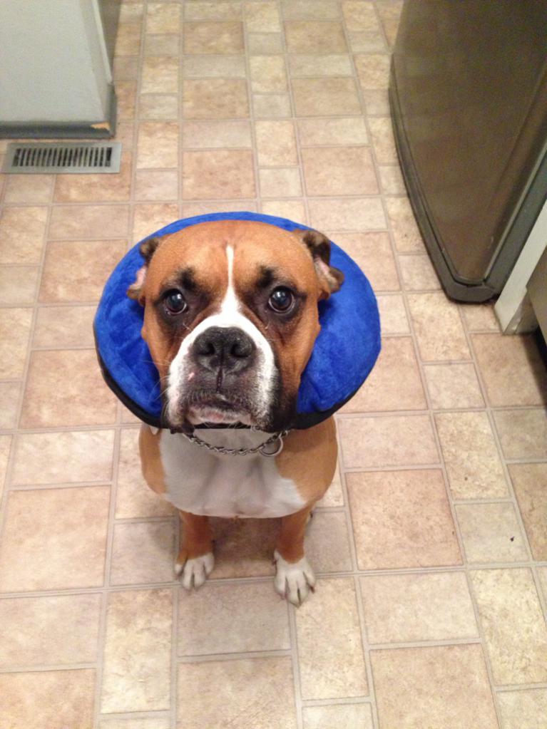 Resultado de imagen para boxer dog buster collar