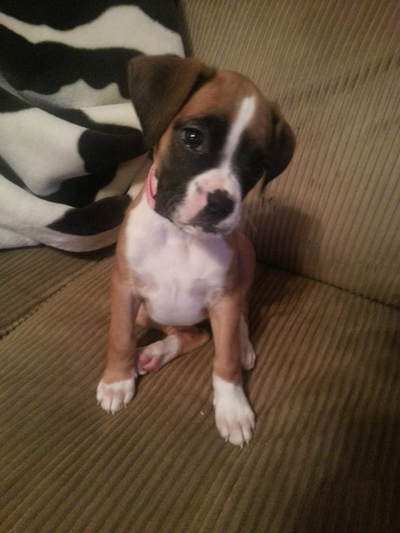 Boxer Puppy: Pees Outside - Poops Inside PLEASE HELP!-jersey-small.jpg