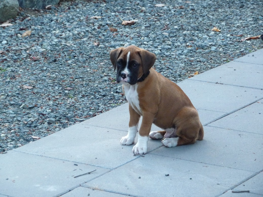 My boxer babies boxer forum boxer breed dog forums