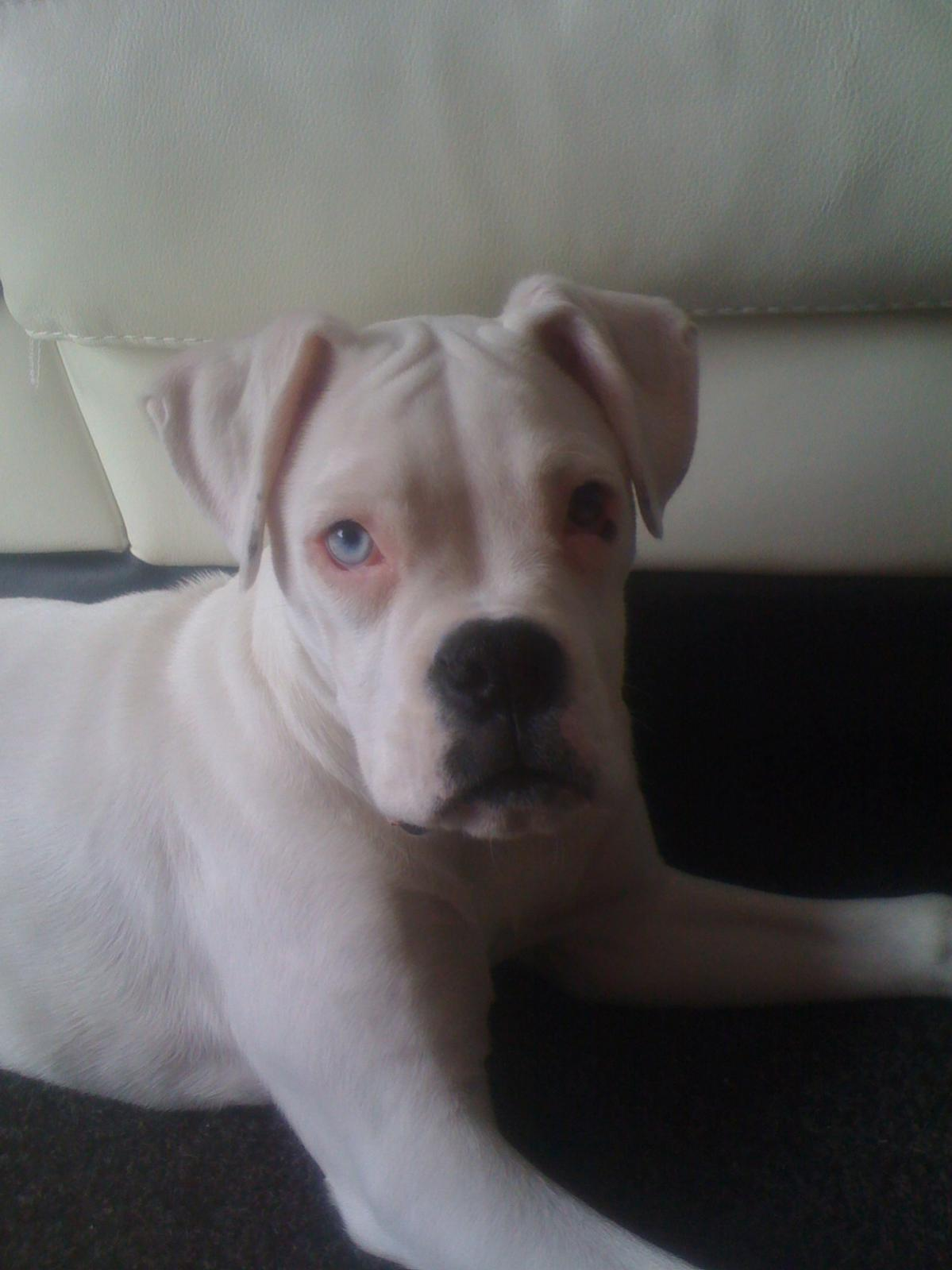 White Boxer Dogs With Blue Eyes