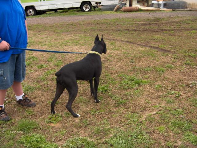 Black boxer dogs
