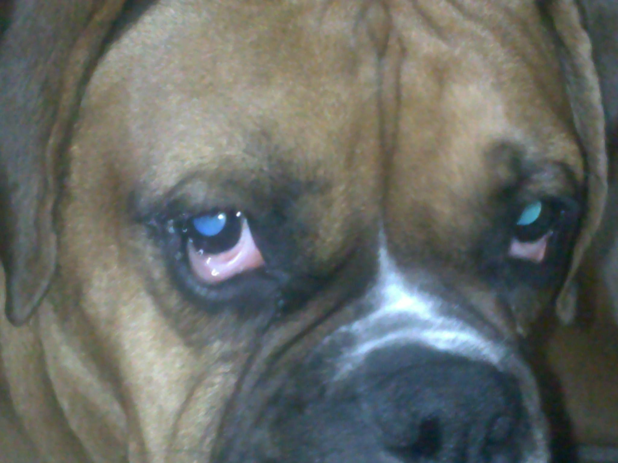 Dog Breed Boxer Droopy Eyes